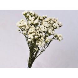 Statice Sinuata 45cm Blanc